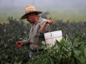 A farm worker picks eggplant in the early morning fog on a farm in Rancho Santa Fe, California.