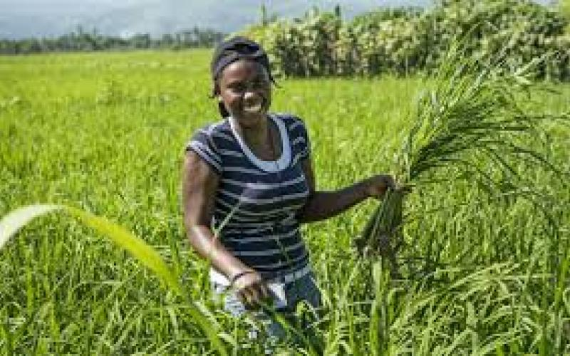 How the United States crippled Haiti's domestic rice industry ...