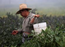 A farm worker picks eggplant in the early morning fog on a farm in Rancho Santa Fe, California.